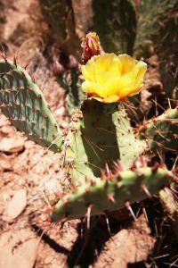 GrandCanyon-2-cactus