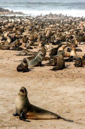 The Cape Cross seals