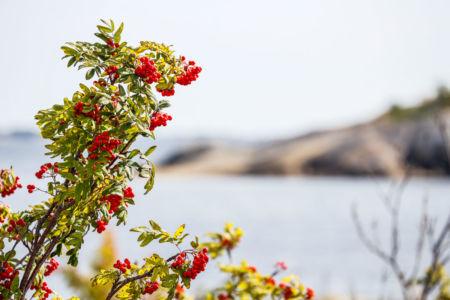 Rönnbär i Roslagen