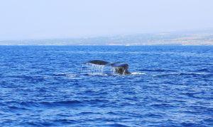 Hawaii-bigisland-whale-6